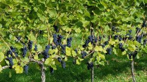 Savage Oakes Vineyard and Winery